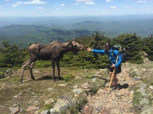 Wildlife encounter: moose